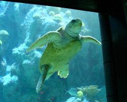 Giant Turtle in New England Aquarium