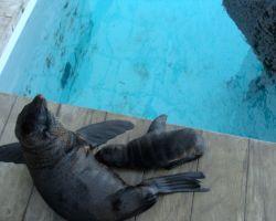 Mamma and baby sea-lion in New England Aquarium