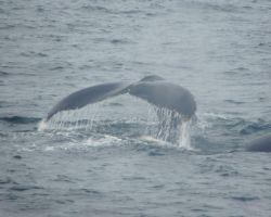 Whale's tail in Stellwegen Bank
